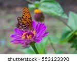 Gulf Fritillary Feeding On A...