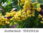 the star gooseberry fruit...   Shutterstock . vector #553154116