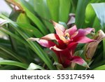 bromeliads bright color in the... | Shutterstock . vector #553174594