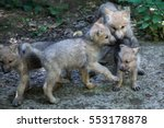 Newborn Arctic Wolf  Canis...