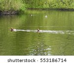 Red  Crested Pochard Ducks An...