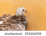White And Brown Dove With Curl...