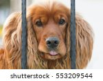 Brown Dog Cocker Spaniel Behin...