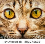 Yellow Cats Eyes  Close Up Of ...