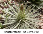 Small photo of Agave parviflora Torr. succulent