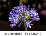 Small photo of African lily blooming in a typical Argentian farm of Buenos Aires - 15 December 2016.