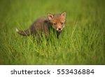 red fox baby crawls in the... | Shutterstock . vector #553436884