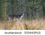 Fallow Deer Cervus Dama Buck I...