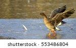 taiga bean goose   Shutterstock . vector #553486804
