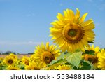closed up sun flower with blue... | Shutterstock . vector #553488184