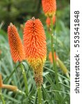 Red Hot Poker  Kniphofia Uvari...