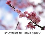 All Cherry Blossom  Branches...