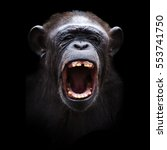 Portrait Of A Angry Chimpanzee...