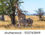 adult zebras and giraffe... | Shutterstock . vector #553765849