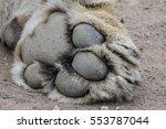 Close Up Of A Lion Paw  Kruger...