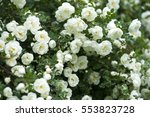 Stock photo white rose bush bush 553823728