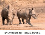 Small photo of White rhinoceros cow with calf with Red-billed Oxpeckers in attendance at the waterhole after an altercation with a bull