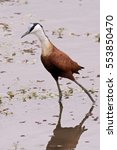 Small photo of African Jacana strutting purposefully through the shallows in the search for food.
