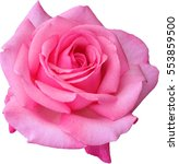 Stock photo beautiful close up pink rose isolated on white background 553859500