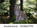 eurasian lynx   Shutterstock . vector #553865794