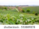 close up green tea leaves  | Shutterstock . vector #553889878
