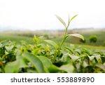 close up green tea leaves  | Shutterstock . vector #553889890
