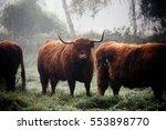 Highlander Cows