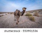Dromedary Camel On Maranjab...