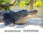 The American Alligator ...