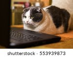 Stock photo cat sitting in front of laptop and stares at the monitor 553939873