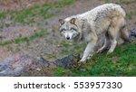 Timberwolf  Gray Wolf  Walking...