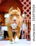 Small photo of American pit bull Terrier - a popular breed in the United States, Used in dog fights