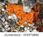 Small photo of Orange Peel Fungus Aleuria Aurantia Fungi