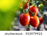 bunch of ripe natural cherry... | Shutterstock . vector #553979923
