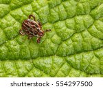 Small photo of Macro from above of ornate dangerous disease carrier tick (Ixodidae, Dermacentor reticulatus) waiting of host on leaf background