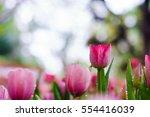 beautiful tulips in garden.... | Shutterstock . vector #554416039
