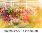 Colorful Petunias Flowers In...