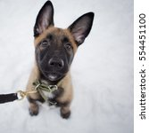 Small photo of Beautiful Belgian Shepherd sitting on the white snow and looks at the host. Closeup muzzle Malinois dogs. Winter walk in the snow in the forest