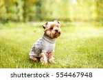 Yorkshire Terrier In Pullover...