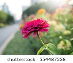 pink flower in the garden with... | Shutterstock . vector #554487238