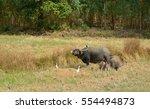 water buffalo eating grass in... | Shutterstock . vector #554494873