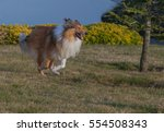 Rough Collie Dog Running In The ...