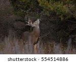 White Tailed Deer Buck Feeding...