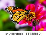 Stock photo monarch butterfly on a flower 55455850