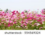 Cosmos Flower Field With Sky...