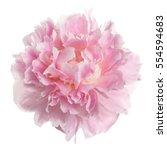 Pink Peony Flower Rozovidnoy...