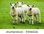 Three young sheep in a group - stock photo