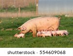 sow and young pig in free range | Shutterstock . vector #554609068