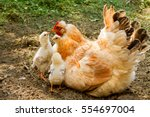 chicken mommy with offspring | Shutterstock . vector #554697004