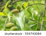 unripe almonds on almond tree | Shutterstock . vector #554743084
